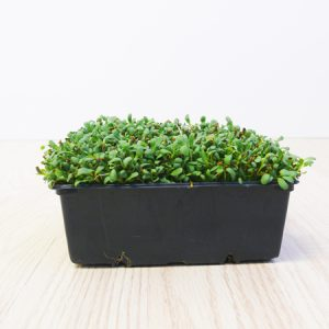 alfalfa kiemzaad